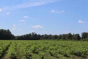 Beautiful Farm Land Wilcox County 86 acres